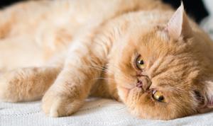 A Cardiomiopatia Hipertrófica e os Felinos